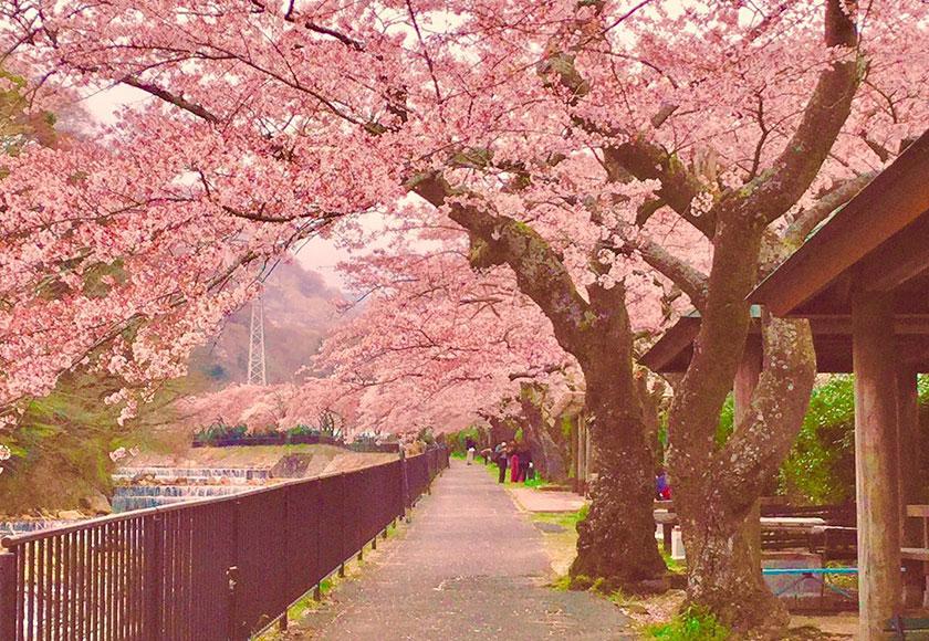 宮城野の桜並木